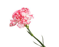 Beautiful carnation Stock Photo