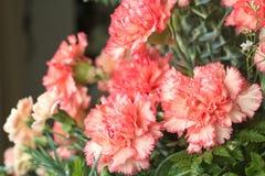 Beautiful carnation Stock Image
