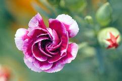 Beautiful carnation flower Stock Images