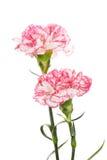 Beautiful Carnations Royalty Free Stock Photo