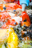 Beautiful carp fish Stock Image