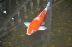 Beautiful carp fish in clear water Stock Photos