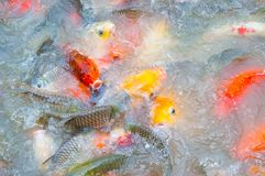 Beautiful carp koi fish swimming in pond at garden. Beautiful carp koi fish swimming in pond at the garden stock images
