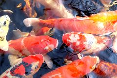 Beautiful carp in the pond Stock Photo
