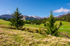 Beautiful Carpathian countryside in springtime. Coniferous trees on grassy rolling hills. Borzhava mountain ridge with snowy tops in the distance. blue sky Stock Photography