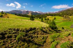 Beautiful Carpathian countryside in springtime. Coniferous trees on grassy rolling hills. Borzhava mountain ridge with snowy tops in the distance. blue sky stock images