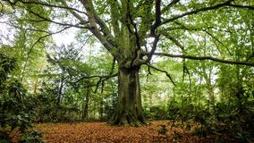 A beautiful carpet of leaves around a beech in autumn stock photography