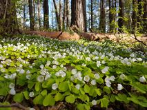 Beautiful carpet of small white flowers in pine forest at spring time. Beautiful carpet small white flowers pine forest spring time royalty free stock photography