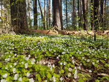 Beautiful carpet of small white flowers in pine forest at spring time. Beautiful carpet small white flowers pine forest spring time stock image