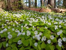 Beautiful carpet of small white flowers in pine forest at spring time. Beautiful carpet small white flowers pine forest spring time royalty free stock photo