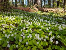 Beautiful carpet of small white flowers in pine forest at spring time. Beautiful carpet small white flowers pine forest spring time royalty free stock photos