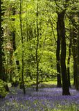 Bluebell Wood at the Wenallt, Cardiff, South Wales, UK stock photo