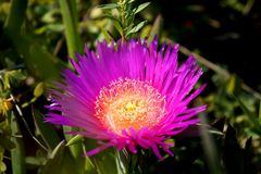 Beautiful Carpobrotus flower royalty free stock image