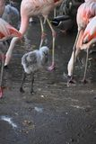 Beautiful carribean flamingos around an water whole royalty free stock images