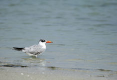 Beautiful Caspian tern Royalty Free Stock Photography