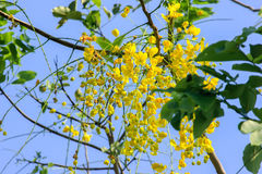 Beautiful Cassia Fistula. National flower of Thailand Stock Photography