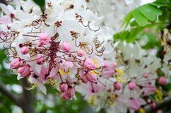 Beautiful Cassia javanica flower Stock Photo