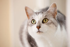 Beautiful cat. In closeup portrait looking alert Royalty Free Stock Photos