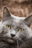Beautiful Cat. A beautiful gray domesticated tabby cat relaxing royalty free stock image