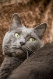 Beautiful Cat. A beautiful gray domesticated tabby cat relaxing stock images