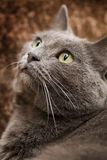 Beautiful Cat Royalty Free Stock Image