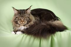 Beautiful cat Royalty Free Stock Photos