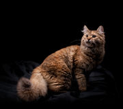 Beautiful cat. On black background Stock Photography