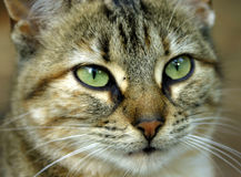 Beautiful cat. A Beautiful green eyed cat Royalty Free Stock Photos