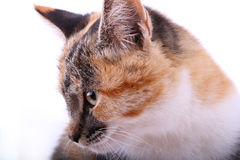 Beautiful cat Royalty Free Stock Photo
