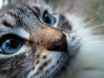 Beautiful cat. Staring close-up royalty free stock photography