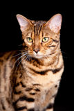 Beautiful cat Royalty Free Stock Photo