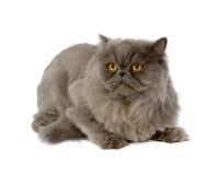 Beautiful Cat With Amazing Yellow Eyes Stock Photo