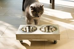 Beautiful cat approaching an empty food bowl Stock Photo