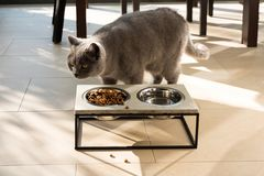 Beautiful cat approaching a food bowl Royalty Free Stock Photo