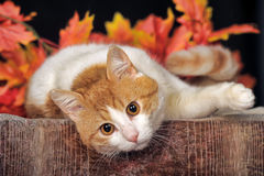 Beautiful cat and autumn foliage Royalty Free Stock Photos