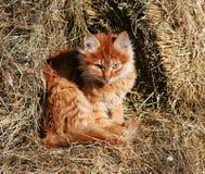 Beautiful cat. Cat bask in the sun, baleen carnivores, pet, ginger kitten on hay, fluffy cat, predator stock photo