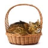 Beautiful cat in basket Stock Image