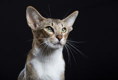 Beautiful cat with big ears. On a black background stock image