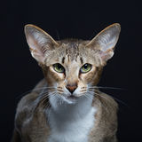 Beautiful cat with big ears Royalty Free Stock Photos