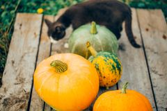 Beautiful cat among the big pumpkins, wooden background stock images