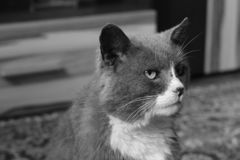 Beautiful cat. Black and white photo royalty free stock photos