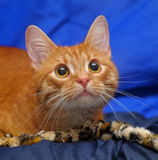 Beautiful cat on a blue background Stock Photography