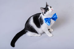 Beautiful cat with a blue bow tie, isolated photo. Stock Photo