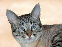 Beautiful cat with blue eyes. Beautiful grey with blue eyes looking directly at you. Cat's head only stock photo