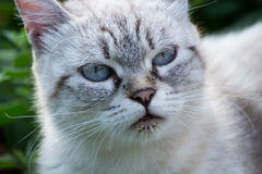A beautiful cat. With blue eyes Royalty Free Stock Photo
