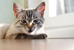 Beautiful cat with blue eyes Stock Photography