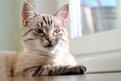 Beautiful cat with blue eyes Royalty Free Stock Photos