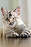 Beautiful cat with blue eyes Royalty Free Stock Images