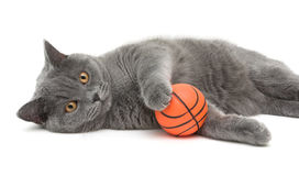 Beautiful cat breed Scottish Straight closeup with ball on white Stock Images