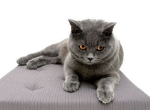 Beautiful cat breeds Scottish Straight lies on a pillow. White background - horizontal photo Stock Photos